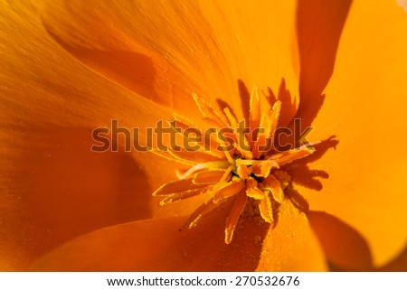 Close up of a California Poppy in spring time with bright beautiful orange color
