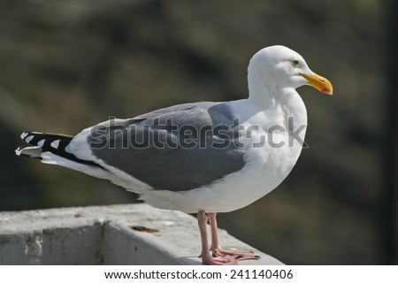 Close up of a California sea gull perched on a balcony looking thoughtfully into the distance toward the sea - stock photo
