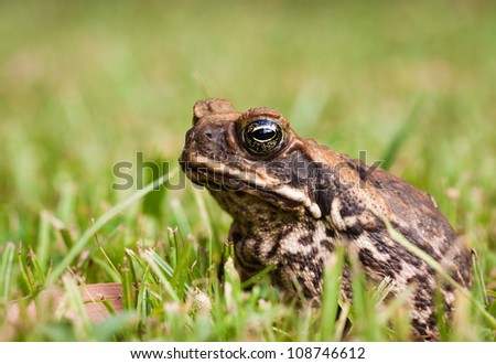 Close-up of a Cane toad (Bufo marinus) sitting in the grass.