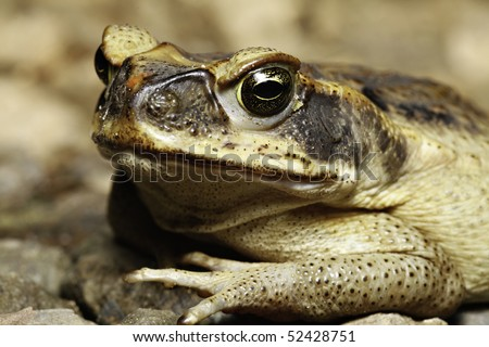 close up of a cane toad  with its beautiful eyes invasive pest species