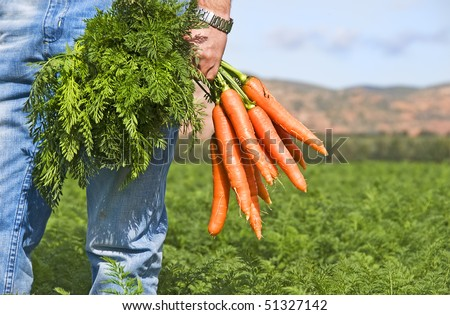 Close up of a carrot farmer with a bunch of freshly picked carrots in a carrot field - stock photo