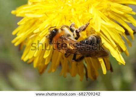Close-up of a Caucasian brown and fluffy bee Andrena on a yellow dandelion from below in the spring