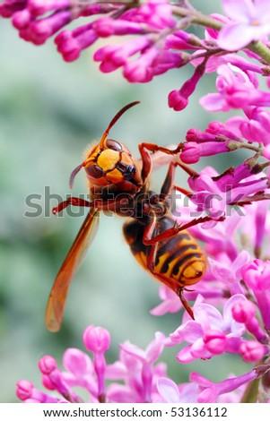 Close-up of a cheering European Hornet (Vespa crabro) - funny image. Macro shot with shallow dof. - stock photo