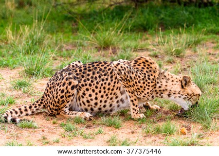 Close up of a Cheetah at the Naankuse Wildlife Sanctuary, Namibia, Africa - stock photo