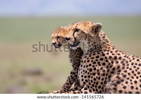 Close up of a Cheetah mother with cub in Masai Mara, Kenya - stock photo