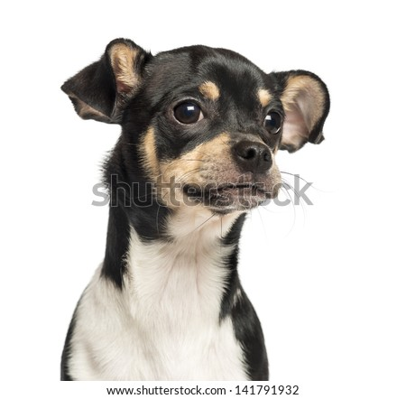 Close-up of a Chihuahua puppy, 6 months old, isolated on white