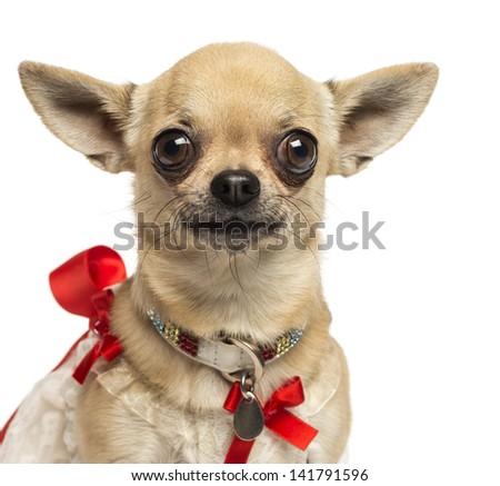 Close-up of a Chihuahua with fancy collar, looking at the camera, 4 years old, isolated on white