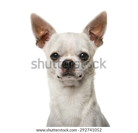 Close-up of a Chihuahua (2 years old)