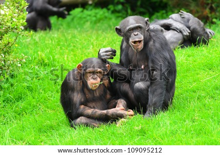 Close up of a Chimpanzee (pan troglodytes) father and son. - stock photo