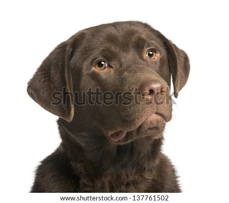 Close-up of a chocolate labrador, 7 months old, isolated on white