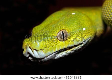 close up of a chondro python - stock photo