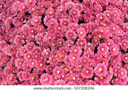 Close up of a chrysanthemum plant full of flowers