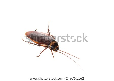 Close up of a cockroach on white background. - stock photo