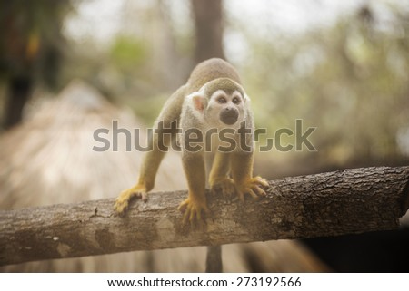 Close up of a Common Squirrel Monkey - stock photo