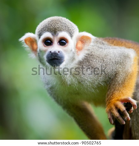 Close-up of a Common Squirrel Monkey (Saimiri sciureus; shallow DOF) - stock photo