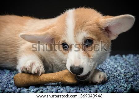 Close-up of a corgi puppy chewing on a bone - stock photo
