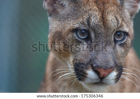Close up of a Cougar face. in Tambopata national park, Peru. - stock photo
