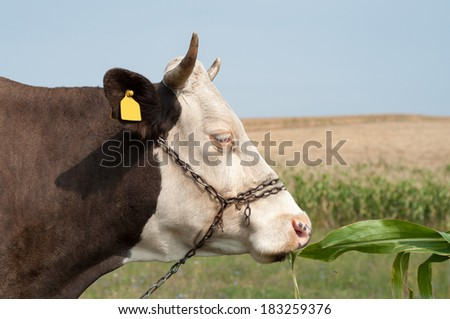 close up of a cow's head. The cow is eating some corn leaf - stock photo