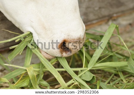 close up of a cow's mouth - cow feeding - stock photo