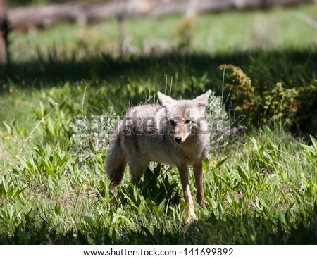 Close up of a coyote in Yellowstone. - stock photo