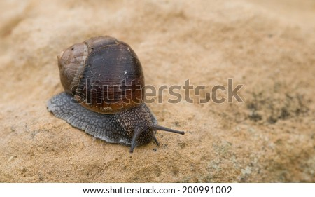 Close-up of a crawling snail on brown a rock. Concept of slow motion.