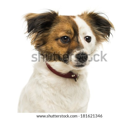 Close-up of a Crossbreed dog wearing a collar, 2 years old, isolated on white