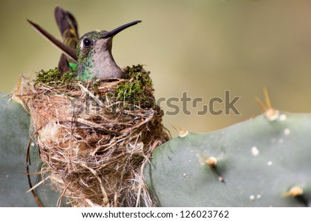 Close-up of a Cuban Emerald Hummingbird (Chlorostilbon ricordii) sitting on its nest - stock photo