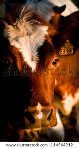 close up of a curious brown cow - stock photo