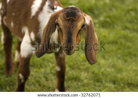Close-up of a Curious Young Nubian Goat - stock photo