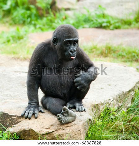 close-up of a cute baby gorilla - stock photo