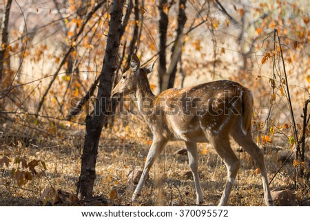 Close up of a cute deer in Indian reserve