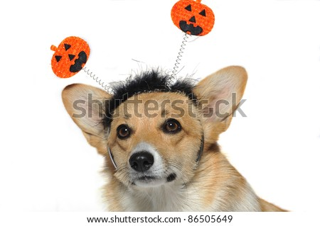 Close up of a  cute dog wearing a pumpkin headband looking up puzzled - stock photo
