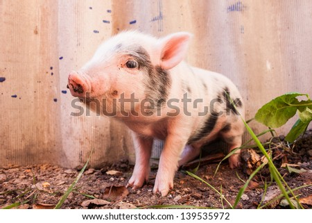 Close-up of a cute muddy piglet running around outdoors on the farm. Ideal image for organic farming - stock photo