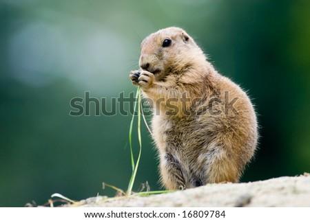 close-up of a cute prairie dog - stock photo