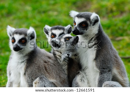 close-up of a cute ring-tailed lemur family - stock photo