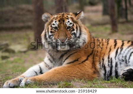 close up of a cute Siberian tiger cub (Panthera tigris altaica) - stock photo