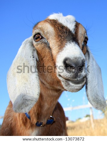 Close up of a cute, young nubian goat against a very blue sky. - stock photo