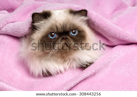 Close up of a cute young persian seal colourpoint cat is lying on a pink bedspread