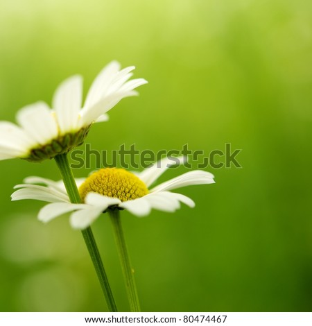 Close-up of a daisy flower - stock photo