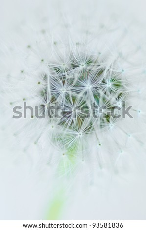 Close up of a Dandelion - stock photo