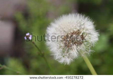 Close up of a Dandelion flower with a green background - stock photo