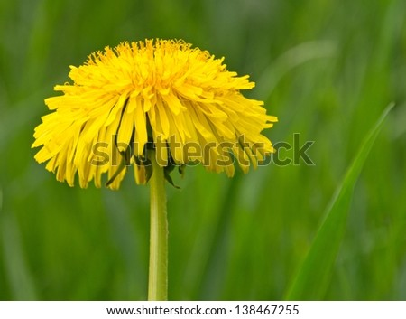 Close up of a dandelion flower with green background