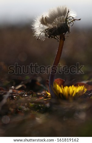 Close-up of a dandelion growing out of rough brown ground. - stock photo