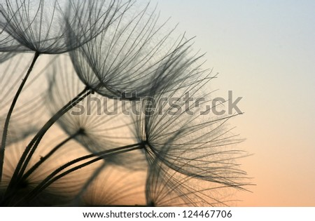 Close up of a dandelion in the evening sky - stock photo