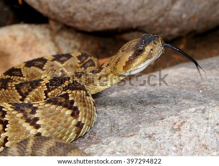 Close-up of a dangerous snake - Blacktailed Rattlesnake, Crotalus molossus, a montane North American pit viper