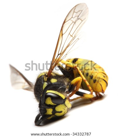 Close-up of a dead Yellow Jacket Wasp - environmental metaphor - stock photo
