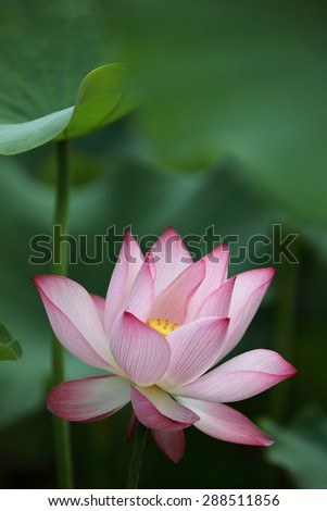 Close-up of a delicate pink lotus flower in full bloom ~ a blooming waterlily showing its natural beauty - stock photo
