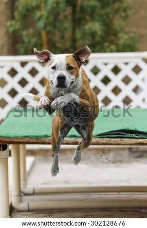 Close up of a dog jumping off a dock into the pool - stock photo