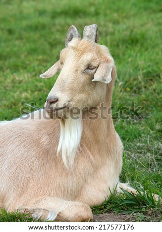 Close up of a Domesticated Goat sitting - stock photo