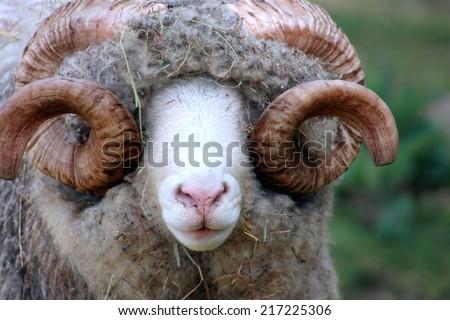 Close Up of a Dorset Ram - stock photo